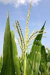 Le chant du Maïs dans NATURE 170px-corntassel_7095