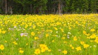 L'arnica : une petite fleur dans PLANTES arnica-vignette
