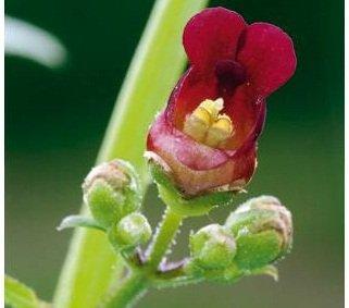 l'herbe aux écrouelles dans PLANTES scrofulaire-1734231-jpg_15924391