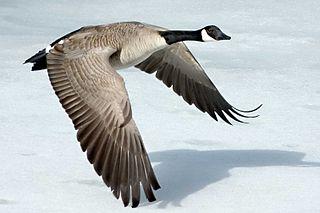 Nous sommes plus que des corps physiques dans ASCENSION canada-goose-szmurlo