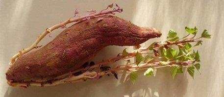 la patate douce dans PLANTES patate-douce-1177546-jpg_1049366