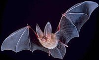 200px-Big-eared-townsend-fledermaus