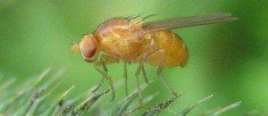 drosophila-melanogaster-nauener-stadtwald-vii-509666-jpg_348646